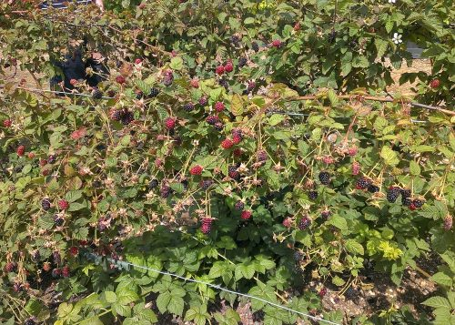 Blackberries at Hawkswick Lodge