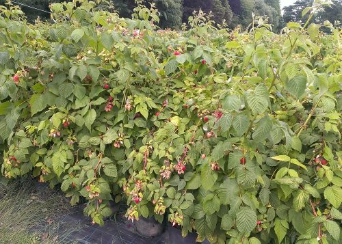 Raspberries at Hawkswick