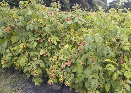 Raspberries at Hawkswick