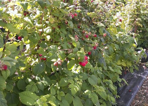 Raspberries at Hawkswick Lodge