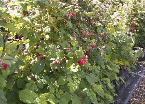 Raspberries at Hawkswick Lodge