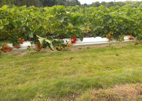 Strawberries at Hawkswick Lodge