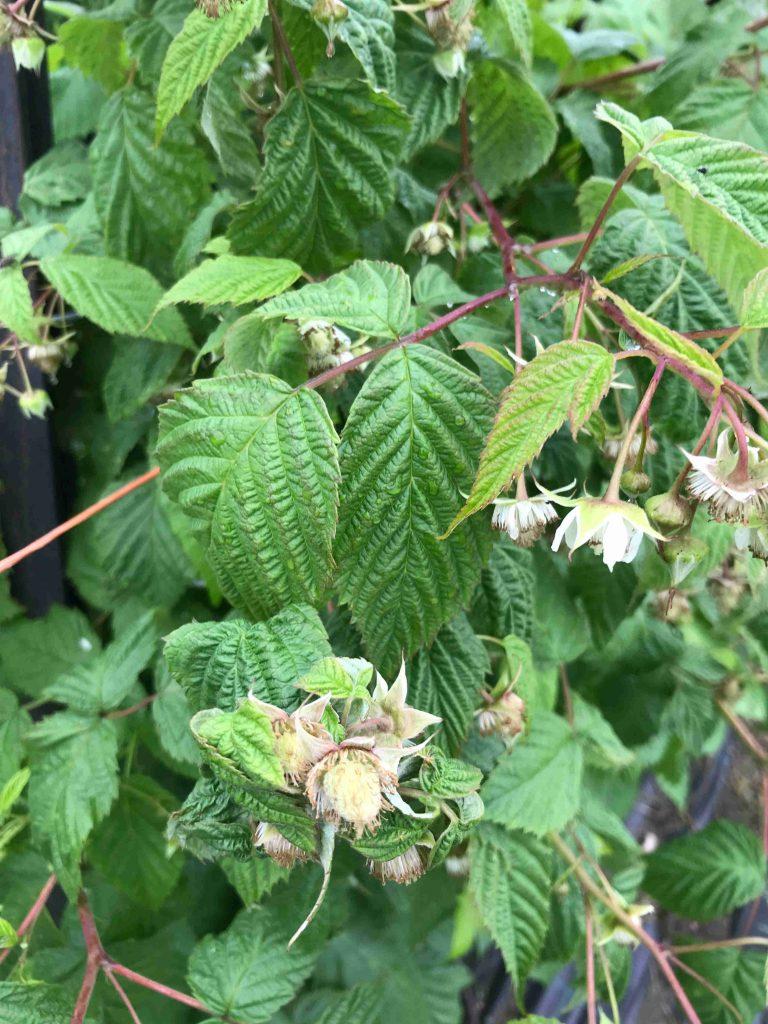Raspberries Forming
