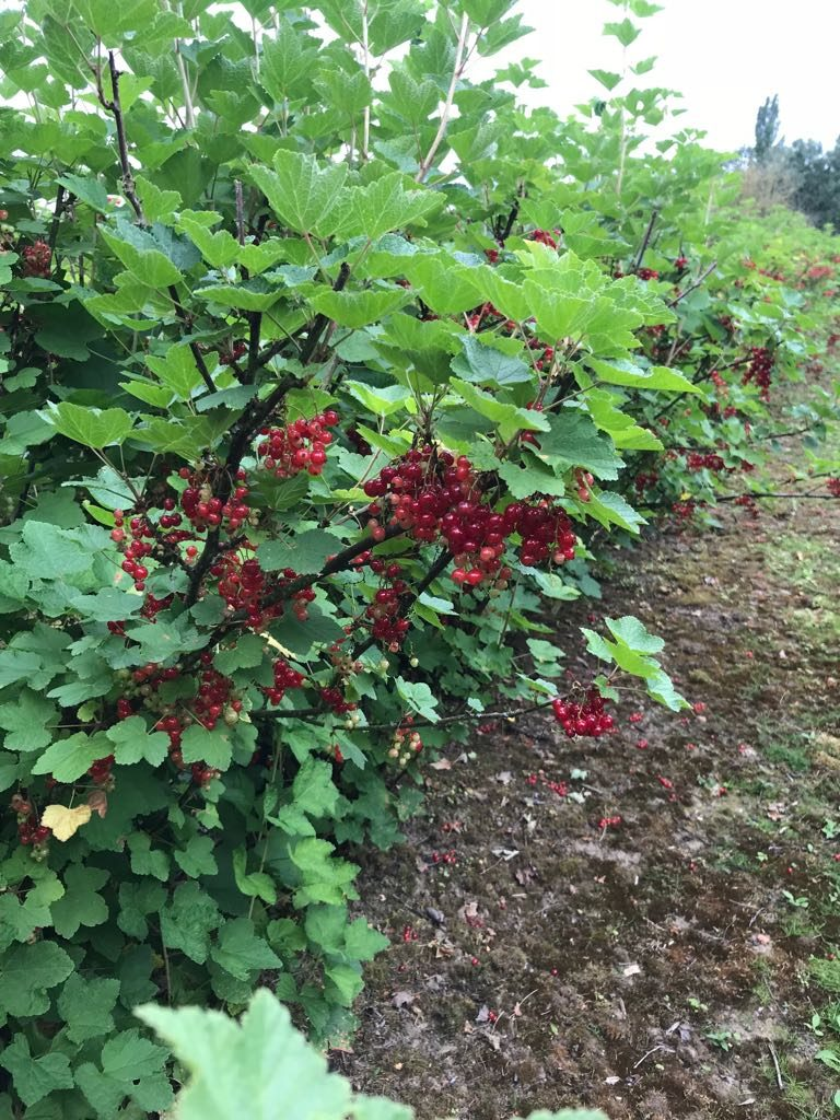 Hawkswick Redcurrants – 22 June 2018