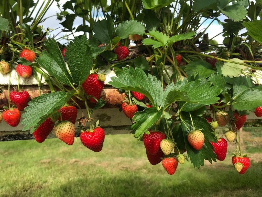 Strawberries - 22 June 2018