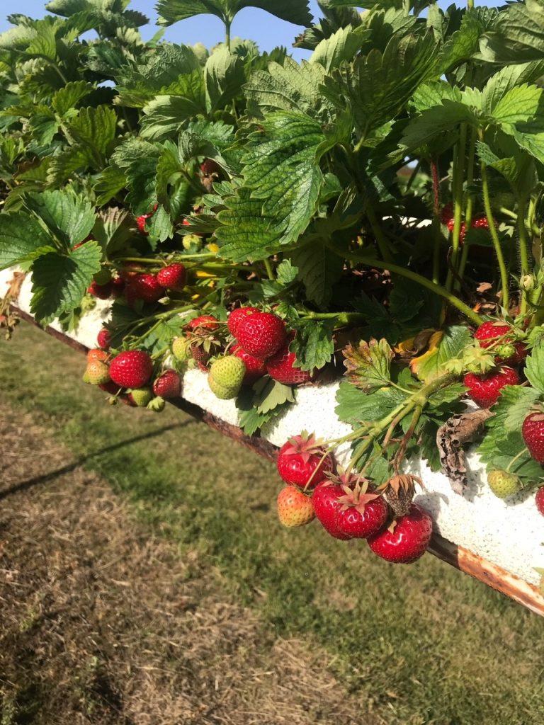 Hawkswick Strawberries