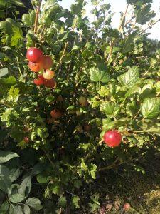 Hawkswick gooseberries