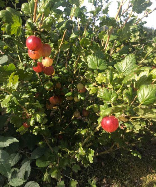 red goosberries