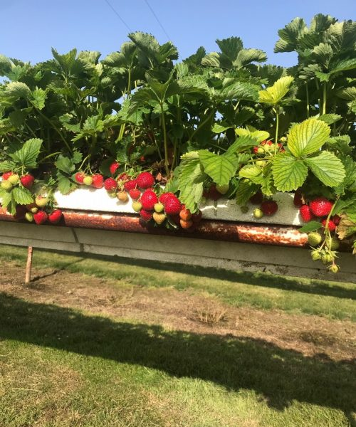 strawberries row