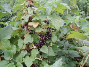 Ben Connan Blackcurrants