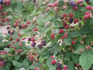 Black Butte Blackberries