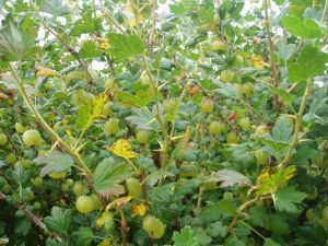 Invicta Gooseberries